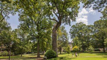 Davie Poplar tree on McCorkle place.
