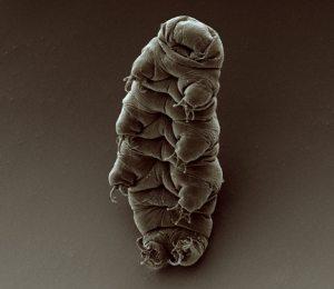 An adult tardigrade