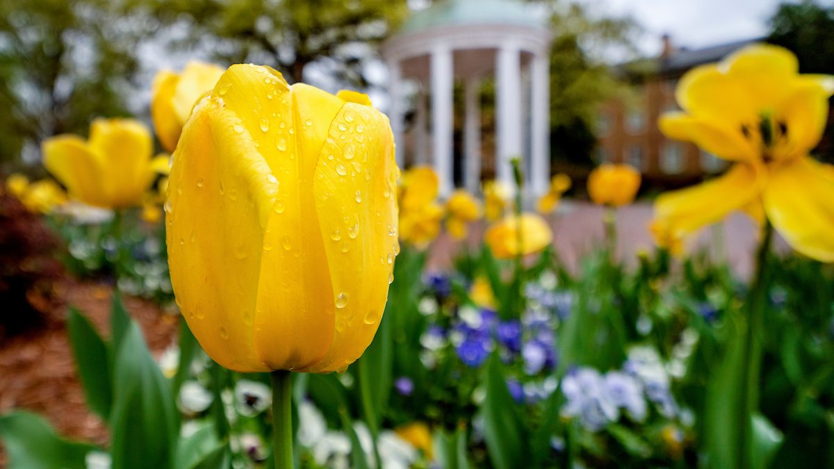 Tulips bloom in front of the Old Well.