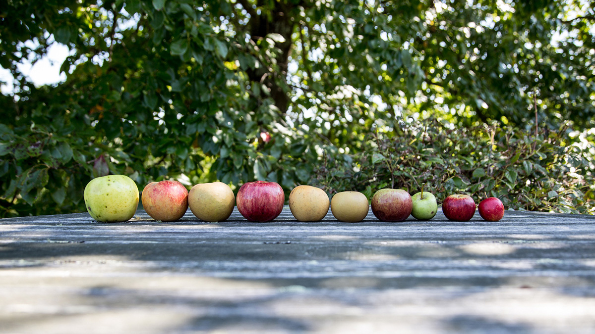 Line of apples on wooden deck