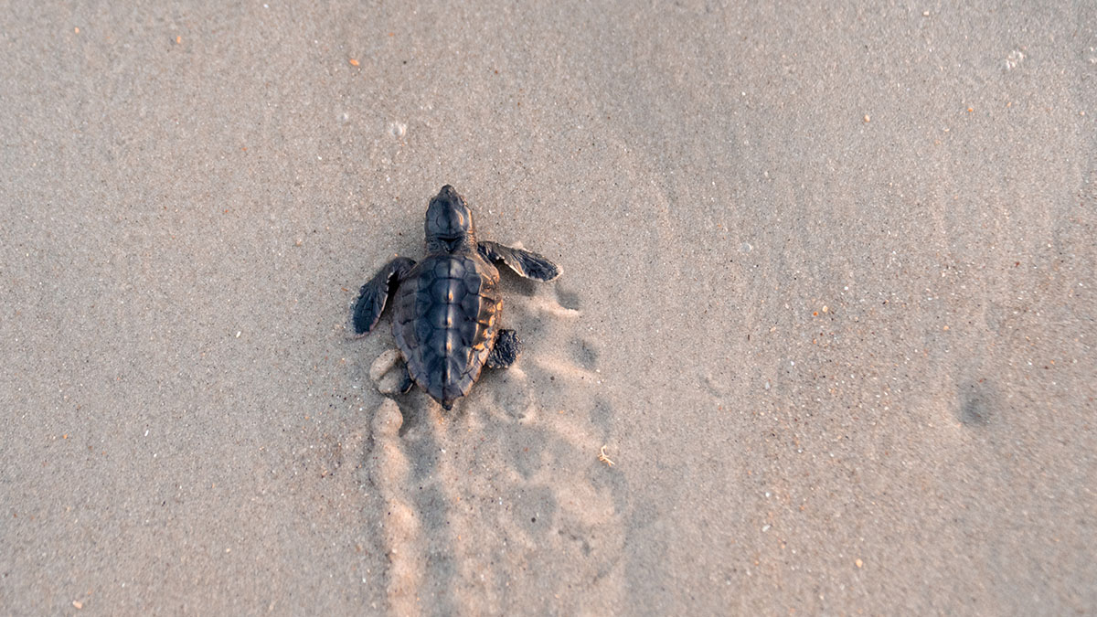 A sea turtle walks toward the ocean.