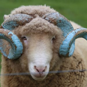 Rameses with his horns painted blue
