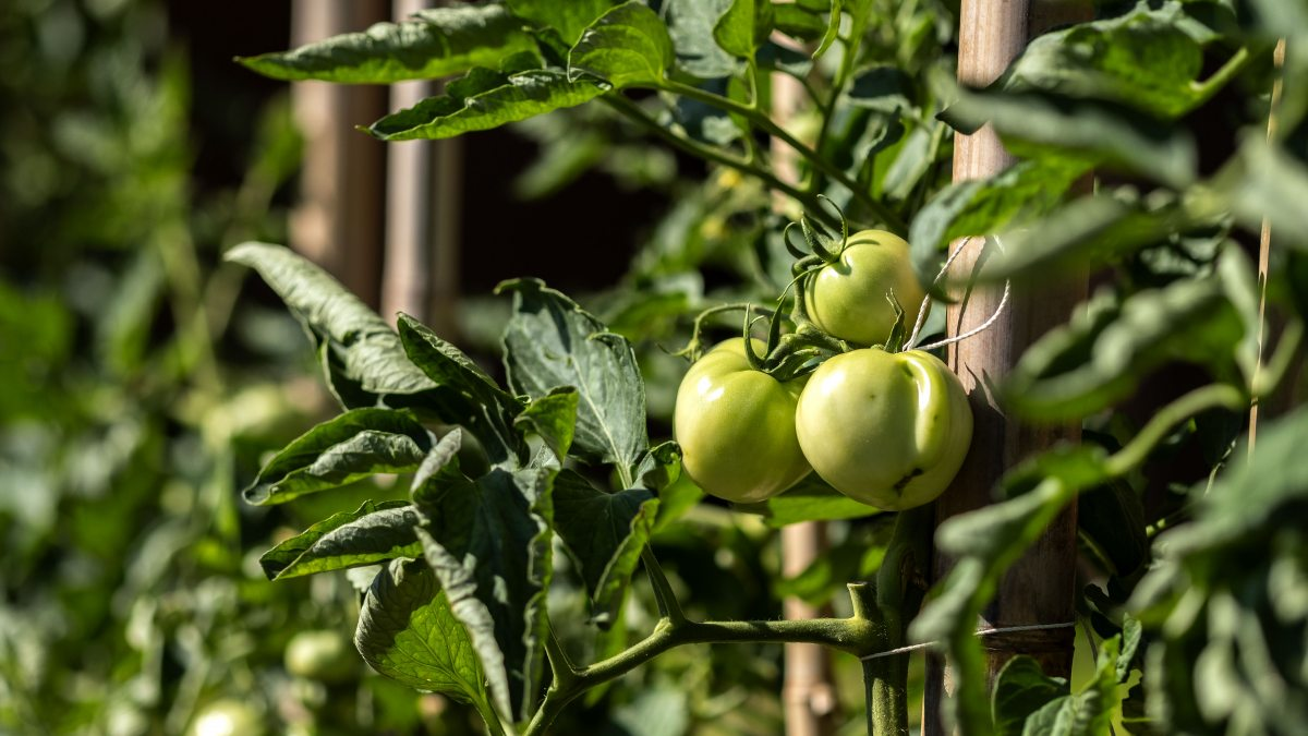 Tomatoes in a garden.