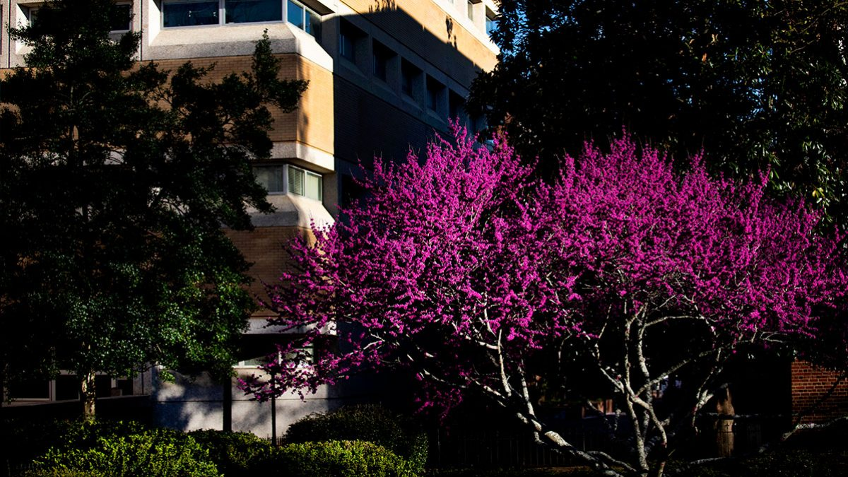 Trees blooming on campus.