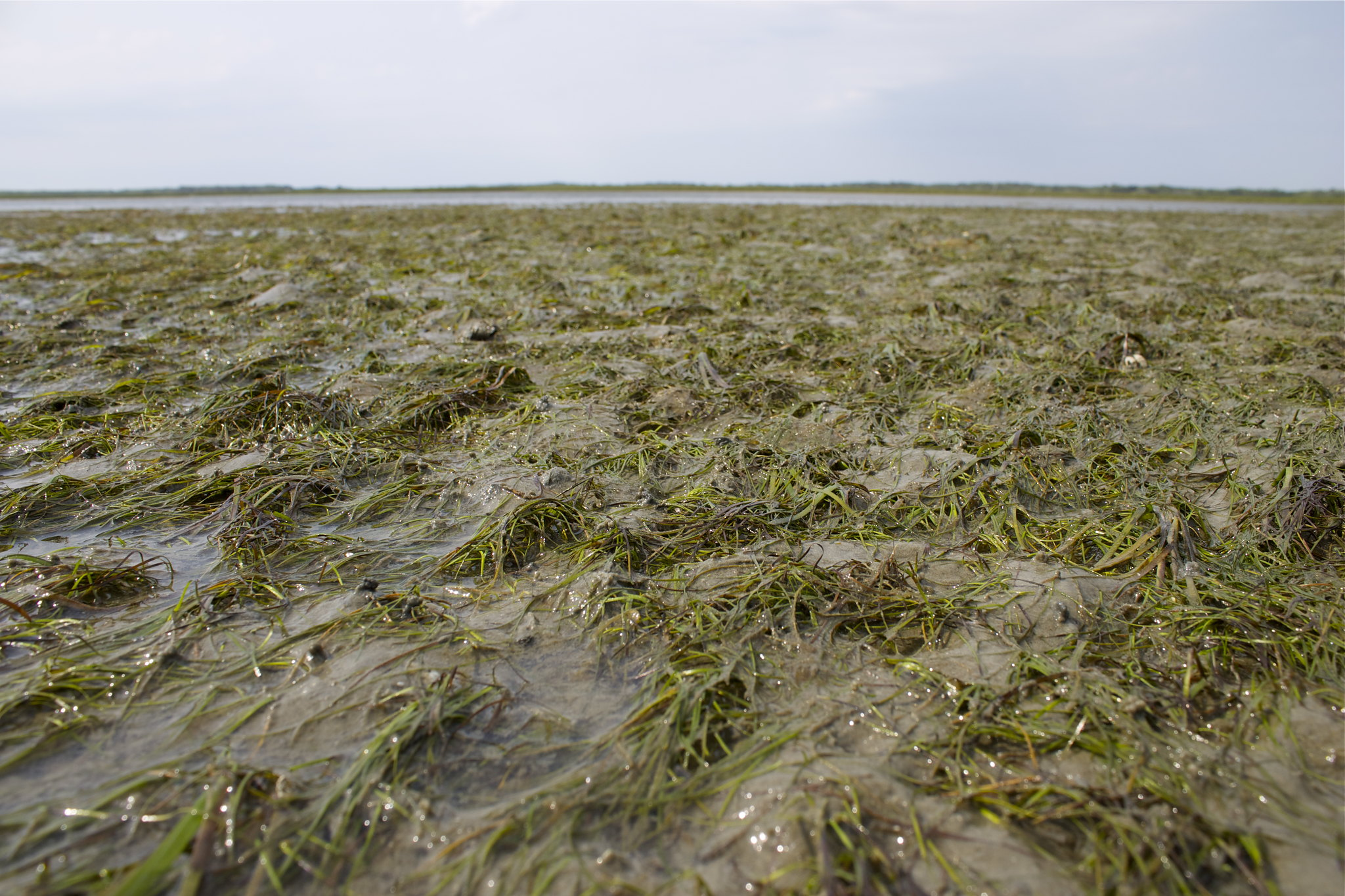 Seagrass meadow.