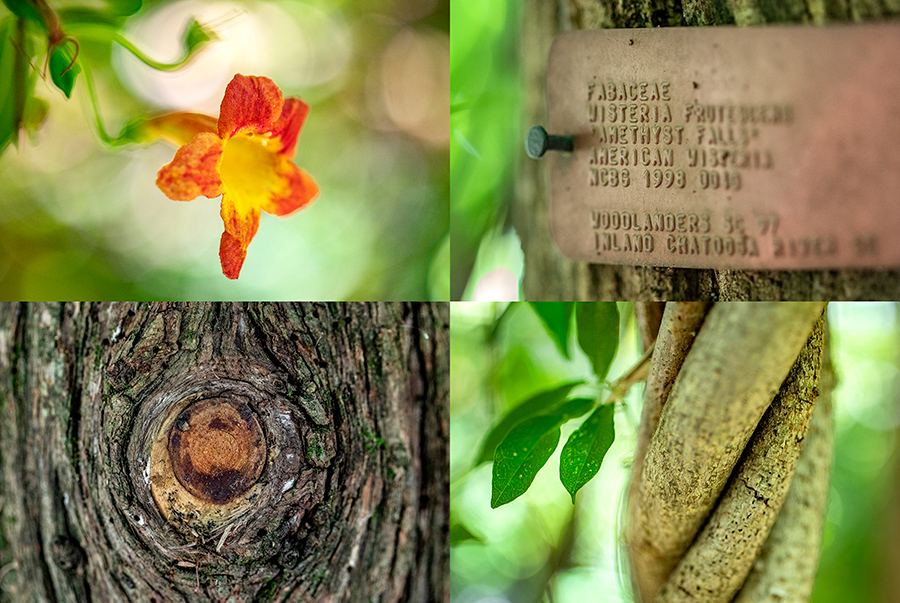 A collage of four Coker Arboretum photos, which includes an orange flower, a brass plaque on a tree, a knot in a tree and twisted vines.