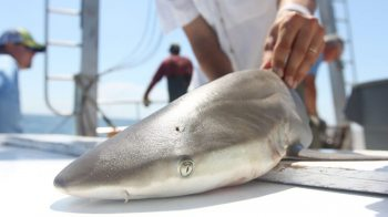 A shark on the deck of a boat.