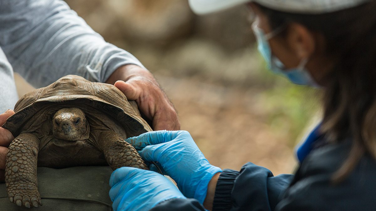 A research examines a giant tortoise.