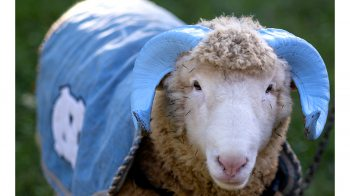 Otis the ram wearing a blue cape.