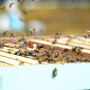Bees flying near a hive.